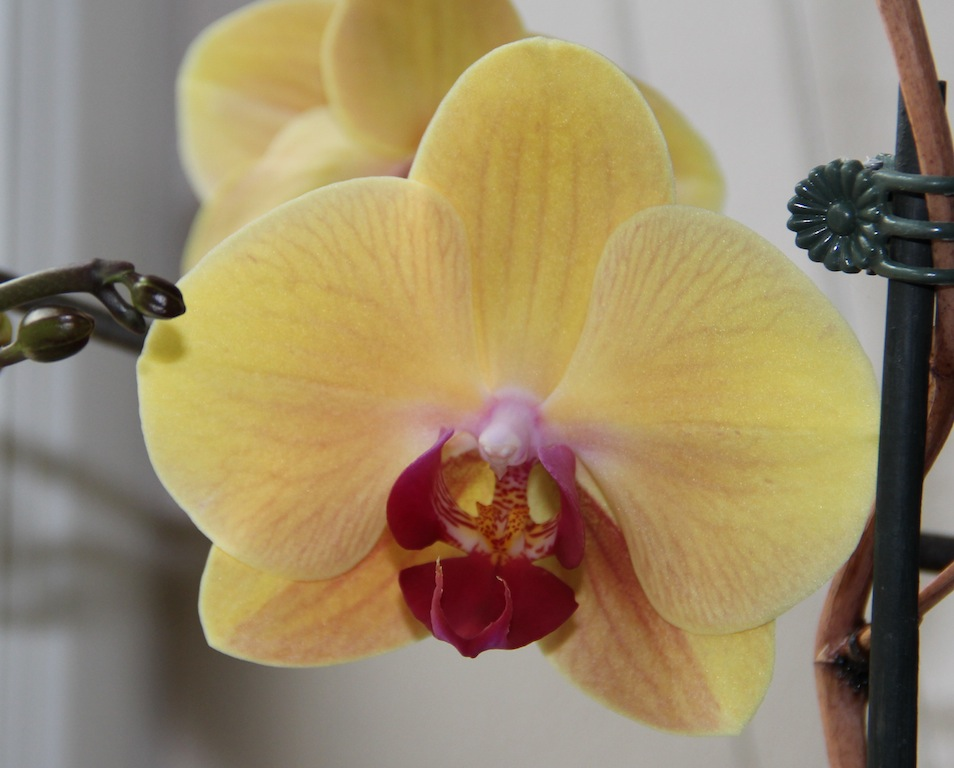 Phal._Yellow_Beauty_06.08.2011_050